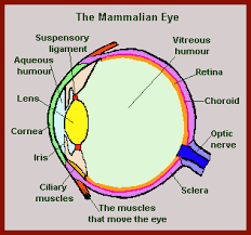 What Structure Of The Eye Focuses Light On The Retina The Mammal Eye And Vision In Mammals