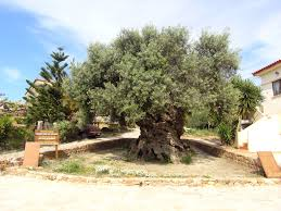 ano vouves olive tree travel guide for island crete greece