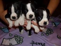 affenpinscher for sale ohio boston terrier puppies in ohio