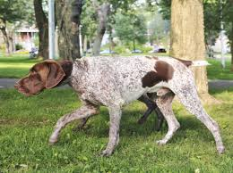 Do All Short Haired Dogs Shed by Hypoallergenic Hunting Dogs