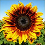 amazon com 200 peredovik sunflower seeds game birds u0026 deer