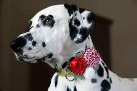 dog ribbon dalmatian diy diy rolled fabric and ribbon rosette dog collar