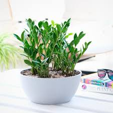 indoor plants potted in various planters shop online my city plants