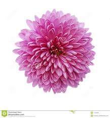november birth flower u2013 2017 calendars