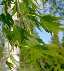 ornamental birches