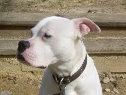 best 25 white american bulldogs ideas on american