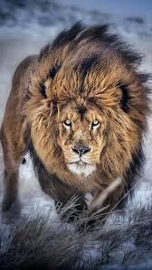 male lion wallpapers best 25 lion pictures ideas on pinterest lion cat big eyed
