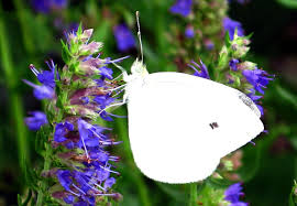 file white butterfly blue flowers virginia forestwander