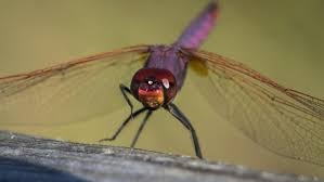 how long do dragonflies live reference com