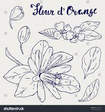 hand drawn orange blossom fleur dorange stock vector 576216172