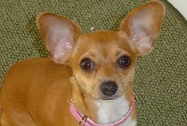 ear hematomas in pets petmeds pet health blog