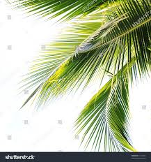 waving palm tree leaves stock photo 45162424 shutterstock