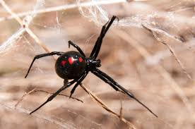 Black Widow Spiders Had A - five year old girl recovers from black widow spider bite new