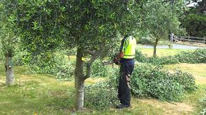 telegraph hill olive tree pruning video 1 youtube