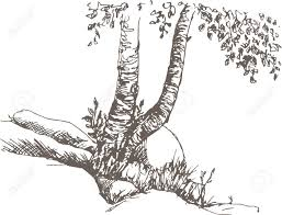 birch trunks and rocks drawing by pencil sketch of wild nature