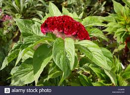 cockscomb flower cockscomb flower scientific name celosia argentea l f cristata