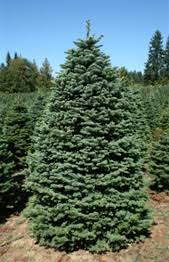 real christmas trees for sale noble fir christmas trees green valley christmas trees