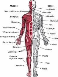skeletal muscle worksheet free worksheets library download and