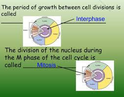 Mitosis Worksheet Phases Of The Cell Cycle Intro To Topic 3 Notes There Are 2 Reasons Cells Divide Rather