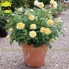 online buy wholesale climbing rose bushes from china climbing rose