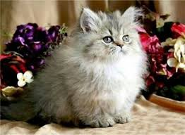 s e katzen spr che die besten 25 teetasse persische katzen ideen auf