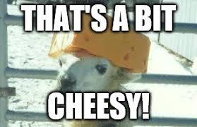 Cheesy Memes - llama cheese hat latest memes imgflip