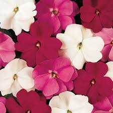 impatiens flowers mystic mix new guinea impatiens seeds from park seed
