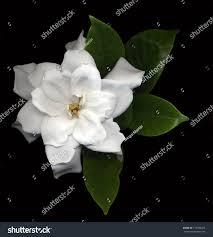 large white gardenia flowers green leaves stock photo 118785259