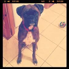boxer dog utah boxer dog a foodie stays fit