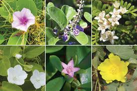 hawaii native plants native hawaiian flowers beach beauties hawaii beach flowers