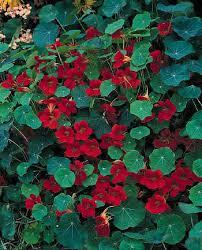 nasturtium flowers empress of india nasturtium gardening annuals