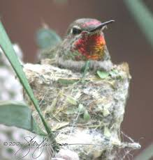 search of the week u201cwhen do hummingbirds have babies in arizona
