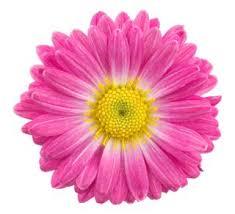 gerbera colors beautiful gerbera colors vibrant soft and neutral hues
