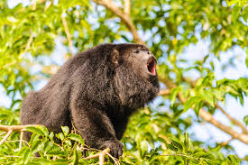 Under Canopy Rainforest by For Howler Monkeys Louder Calls Mean Smaller U2026 D Brief