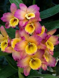 dendrobium orchid a few dendrobium orchids beautiful flower pictures