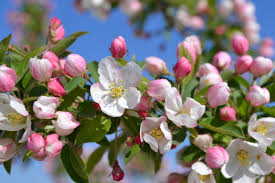 Profusion Flowering Crabapple - sugar tyme crabapple trees have pink buds that turn to white flowers
