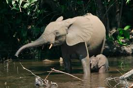 in the shadows of the congo basin forest elephants fall to the