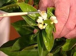 growing fruit trees indoors hgtv