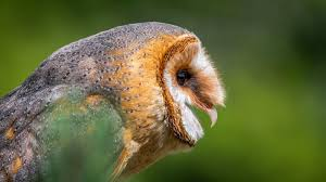 Barn Owl Sounds Barn Owls Found To Suffer No Hearing Loss As They Age