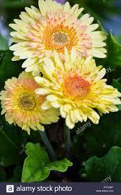 gerbera daisy stock photo royalty free image 135764098 alamy