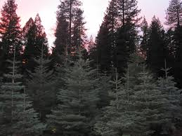 christmas tree sales on the rise in edc lake tahoe newslake