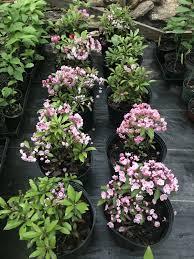 kalmia latifolia kalmia latifolia kollar nursery
