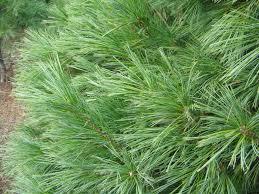 free pine needle leaf texture