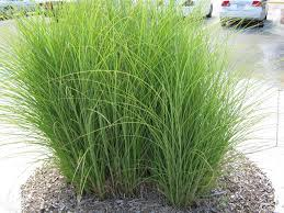 non native plants in florida switchgrass is our favorite alternative to the common miscanthus