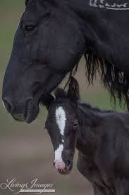 Black Mustang Horse Wild Horses The Last Adobe Town Foal Arrives At Black Hills Wild