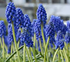 hyacinth flower muscari armeniacum white flower farm