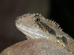 australian water dragon intellegama lesueurii australian museum