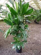 ti plant nursery west los angeles mickey hargitay plants
