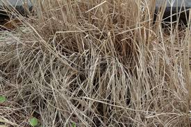 background texture of dried ornamental grasses stock photo