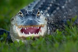 photo collection alligator desktop wallpaper